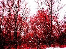 Fotografie - Červený les - 3835273_