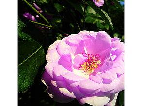 Fotografie - Rose - 5608660_